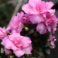 初心者におすすめのピンク色の花「アザレア」