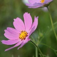 初心者におすすめのピンク色の花「コスモス」