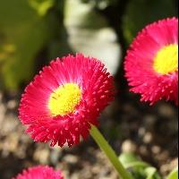 初心者におすすめの赤色の花「デージー」