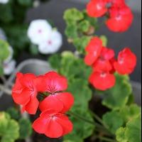初心者におすすめの赤色の花「ゼラニューム」