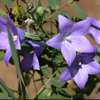 初心者におすすめの紫色の花「キキョウ」