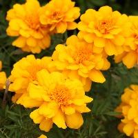 初心者におすすめの黄色の花「マリーゴールド」