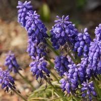 初心者におすすめの紫色の花「ムスカリ」