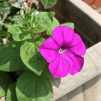 プランターにおすすめの花「ペチュニア」