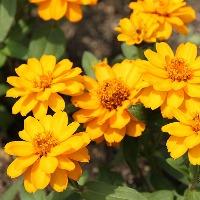 初心者におすすめの黄色の花「ジニア」